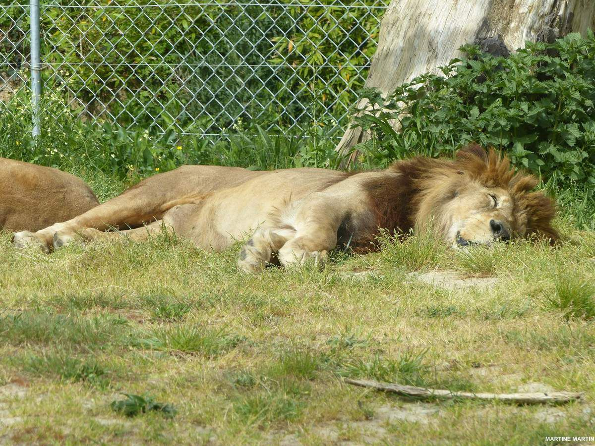 Le lion de l'atlas du zoo des Sables