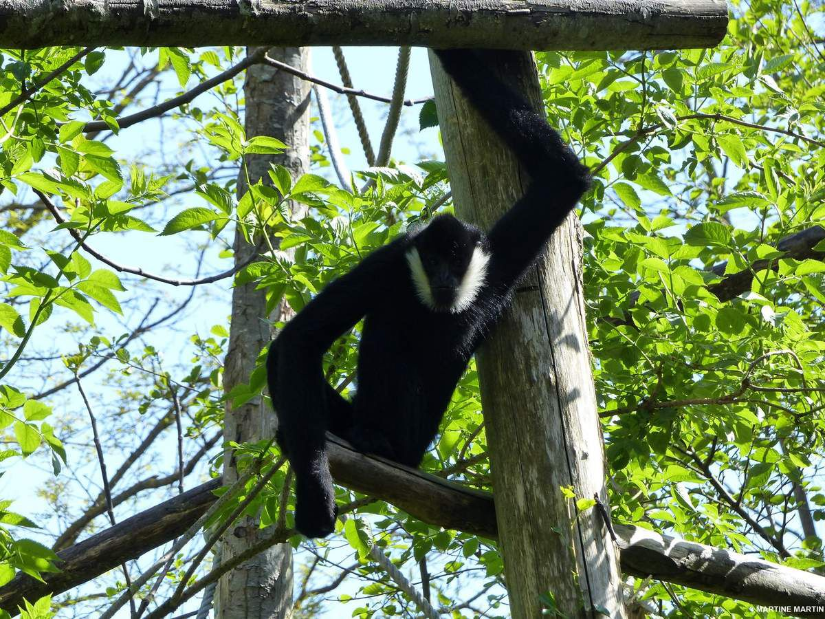 Le gibbon à favoris blancs