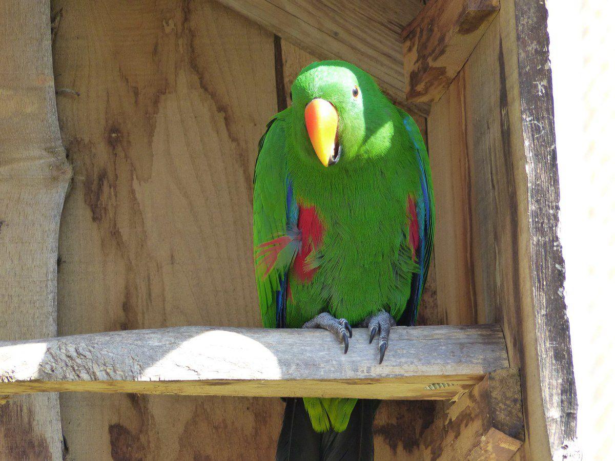 Le grand électus du zoo des Sables d'Olonne
