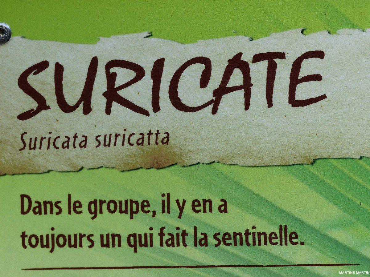 Suricate du Zoo des Sables