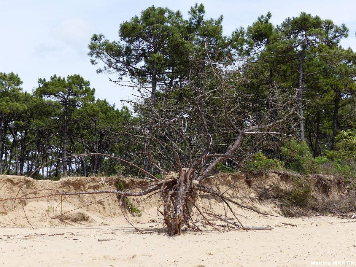 Arbres morts dans l'estuaire du Payre à Talmont Saint Hilaire