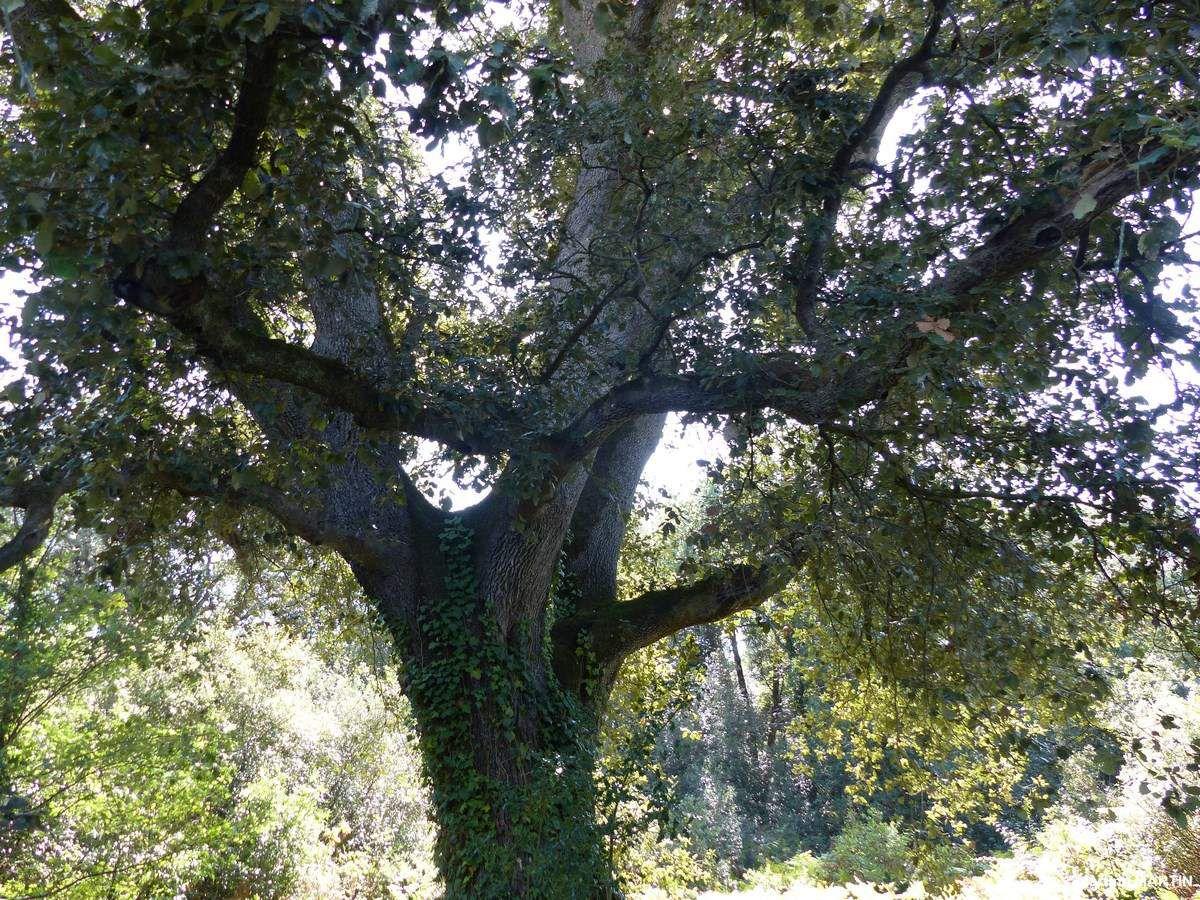 Les chênes du bois du Veillon