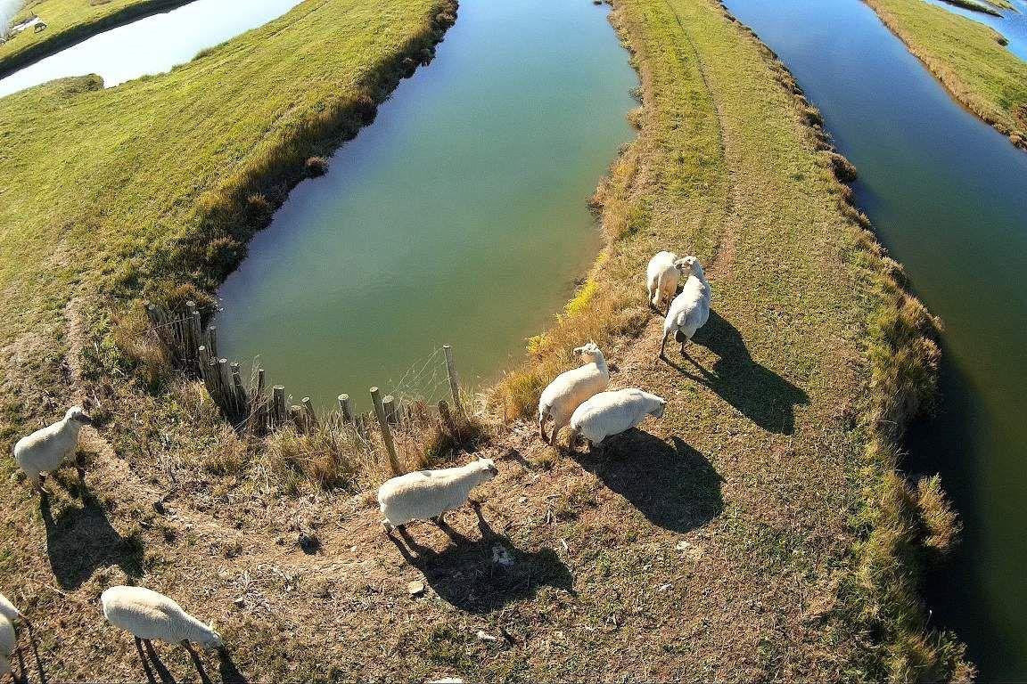 Les moutons du marais neuf  de la Guittière à Talmont