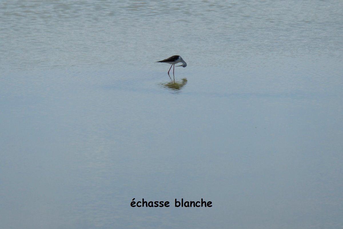 Oiseaux dans les marais d'Olonne