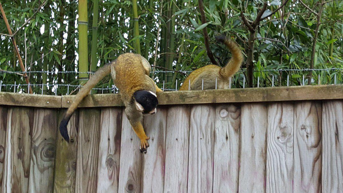 Petits singes aux Sables d'olonne