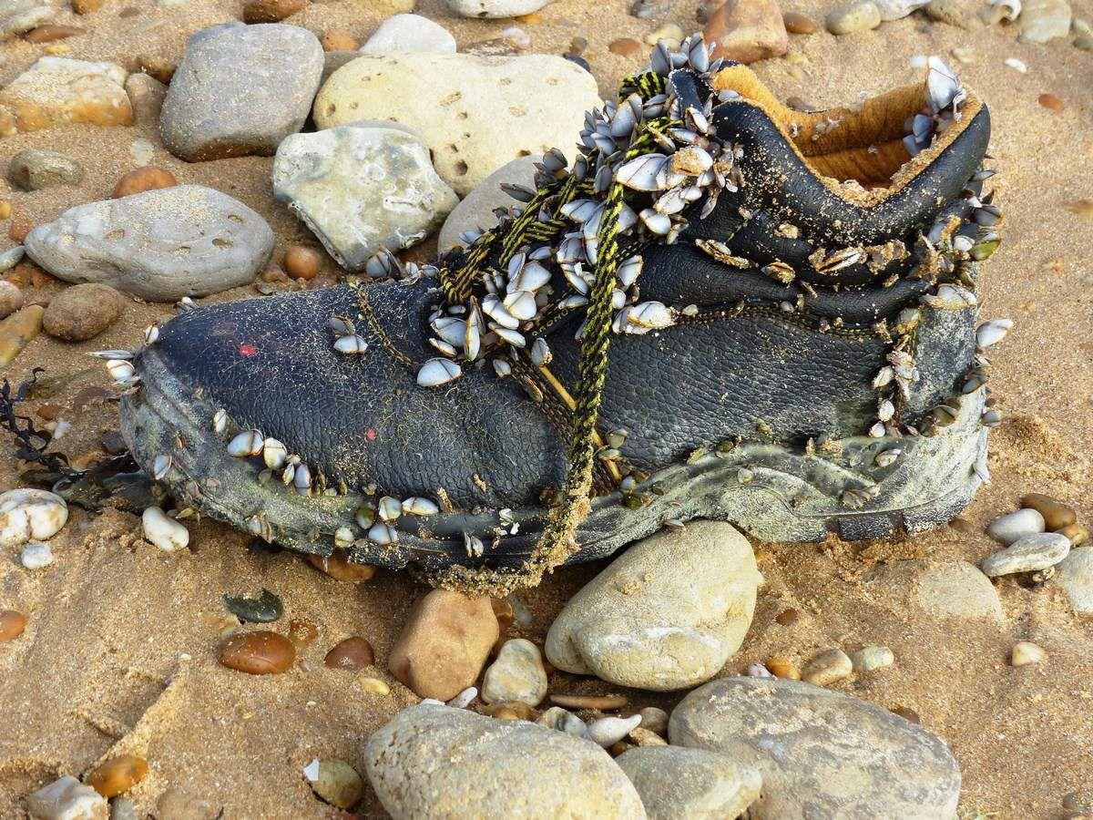 Anatifes sur la plage de Sauveterre à Olonne sur Mer