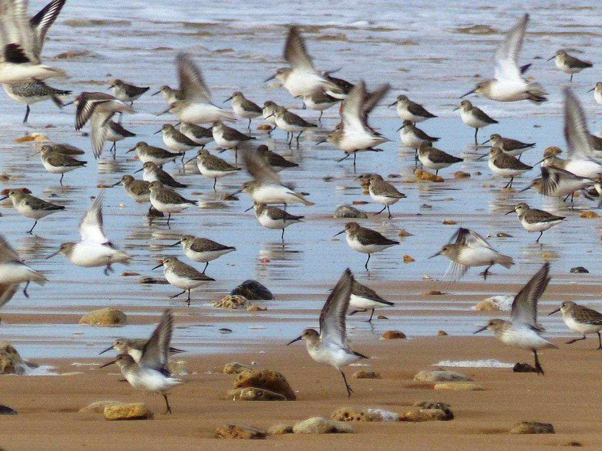 Bécasseaux sanderling sur la plage de Sauveterre