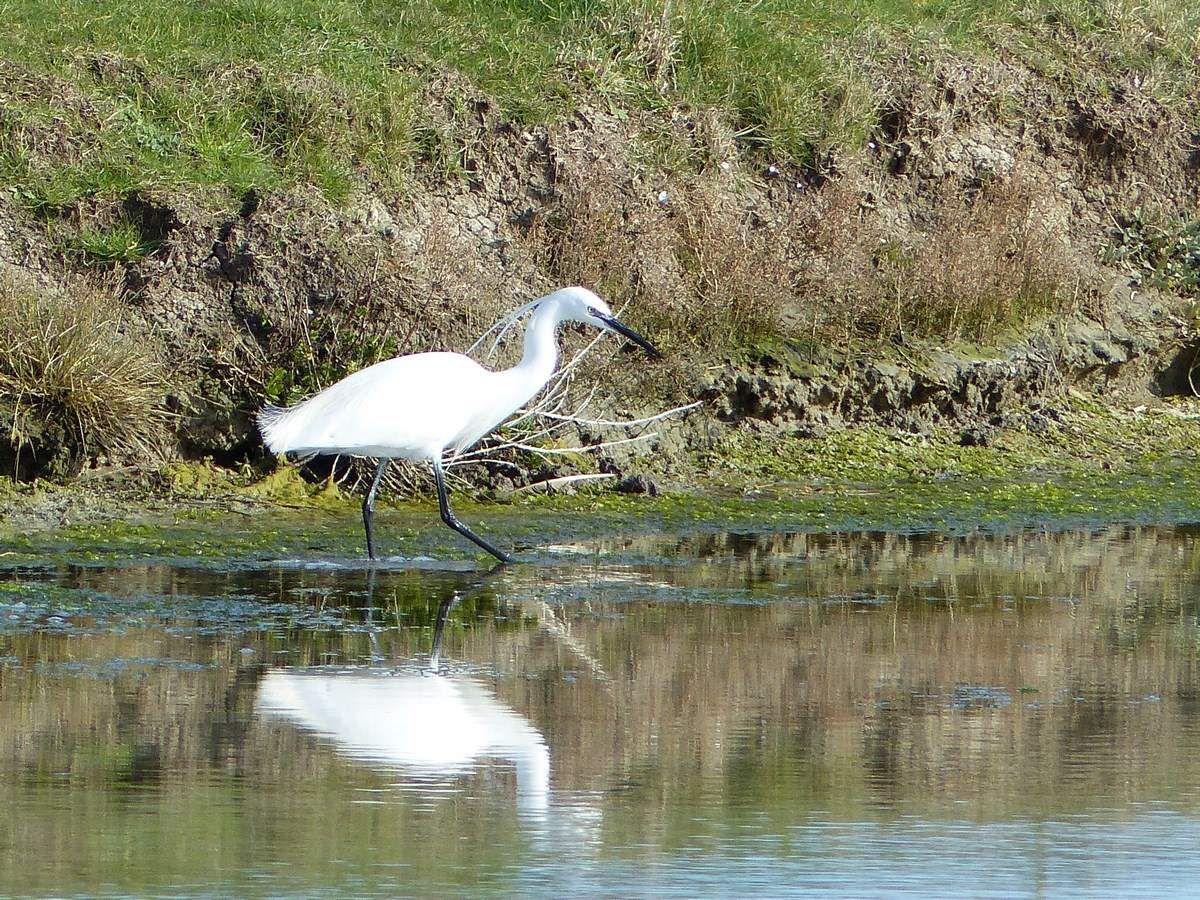 Les oiseaux du marais de Noirmoutier
