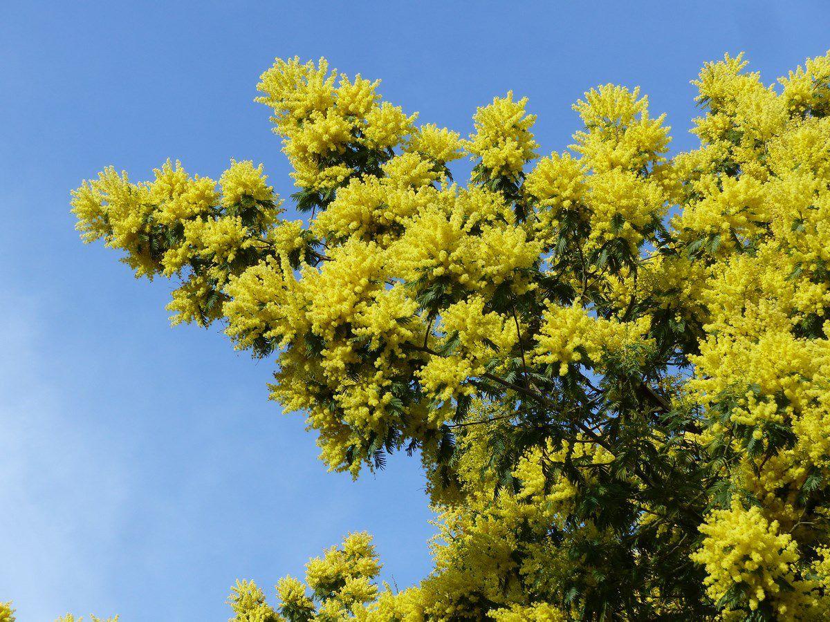 Le mimosa était en fleurs