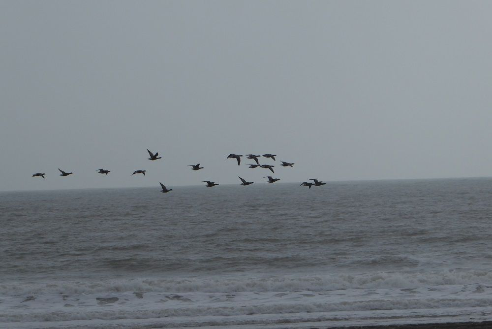 Voliers d'oies Bernache à Jard sur Mer