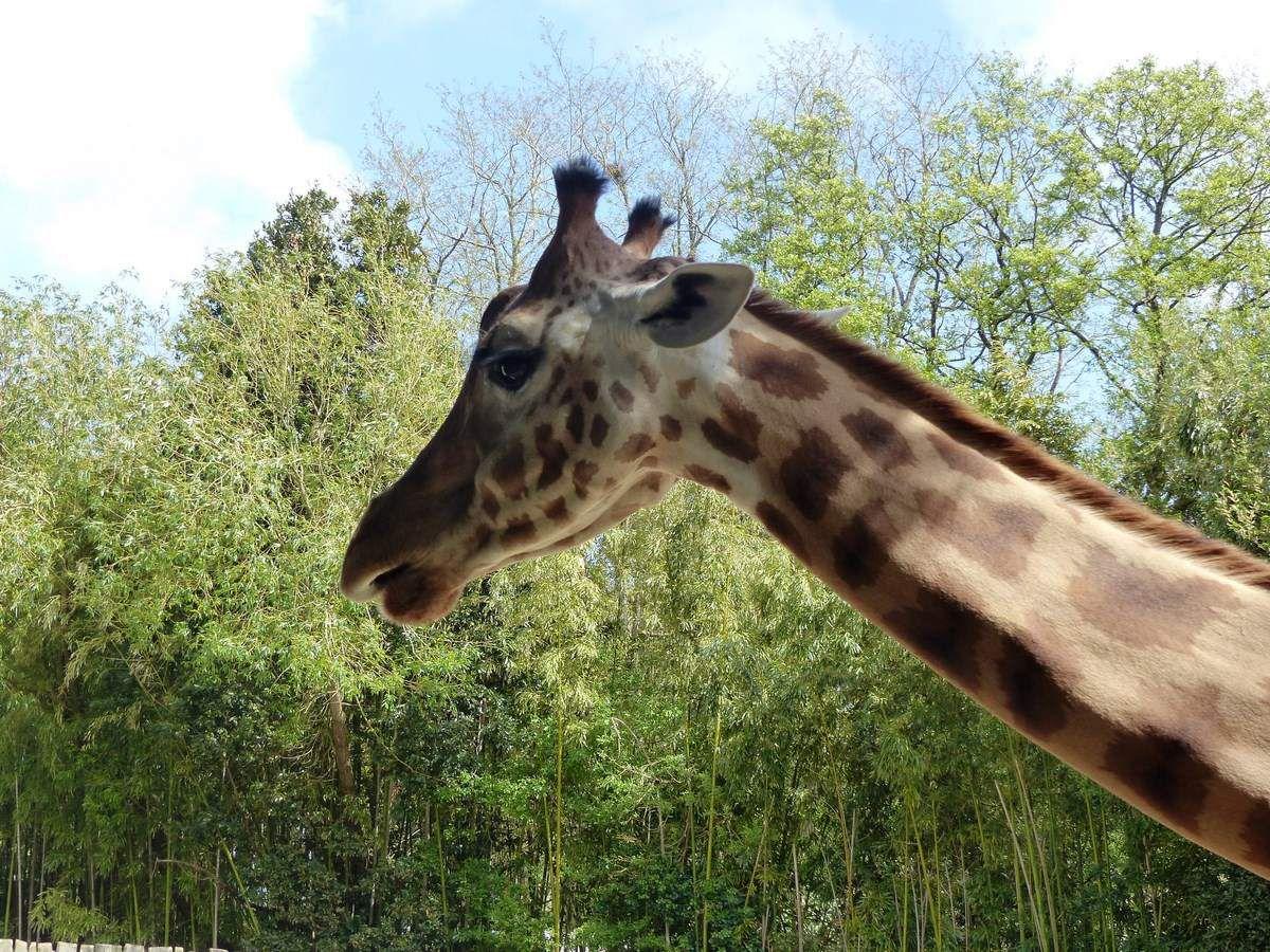 Girafes de Kordofan