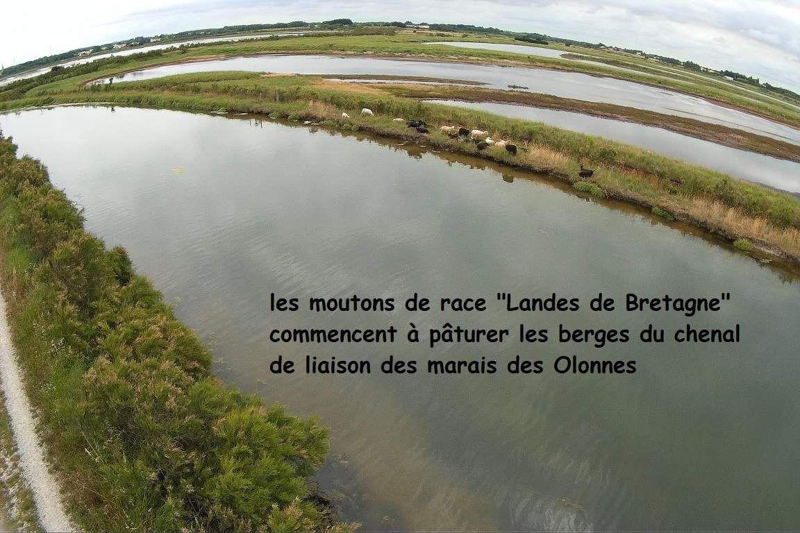 Les moutons du marais de l'Île d'Olonne