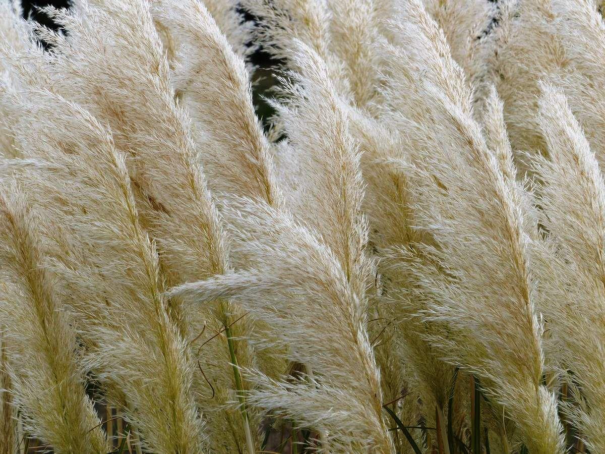 herbes de la pampa dans un champ