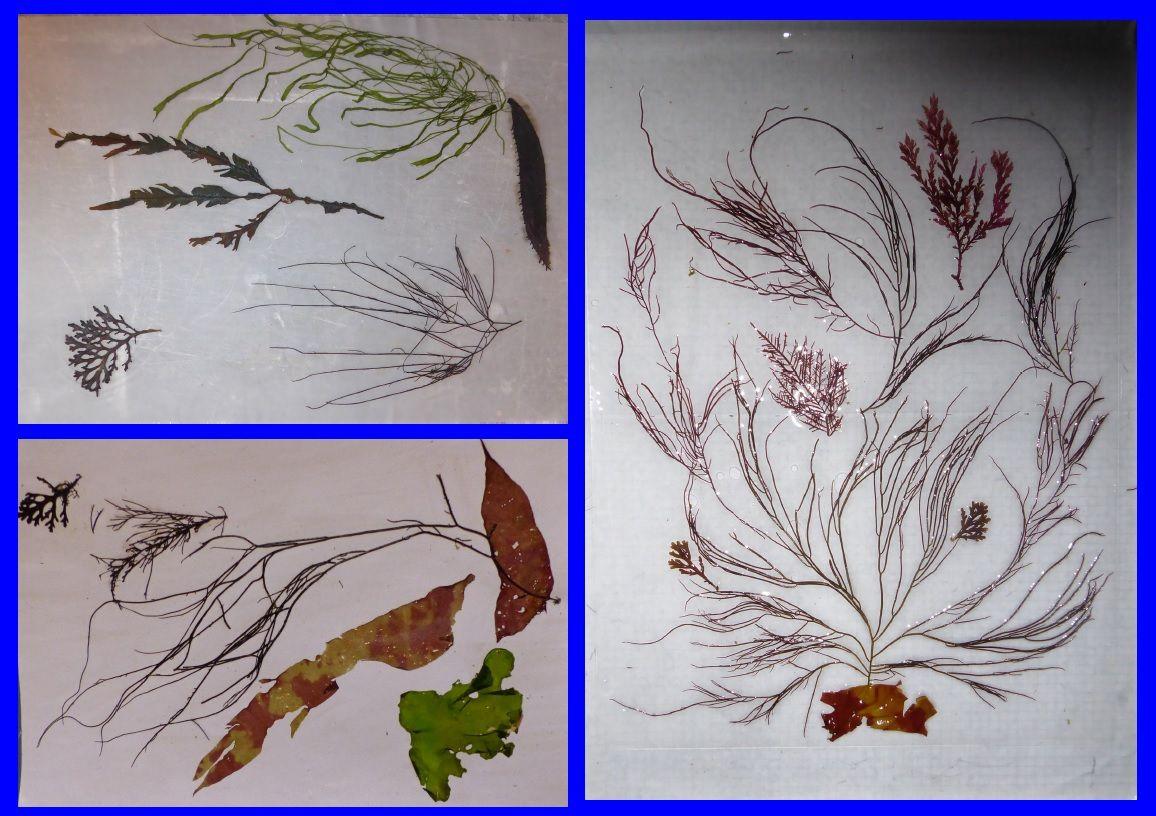 Réalisation de tableaux d'algues