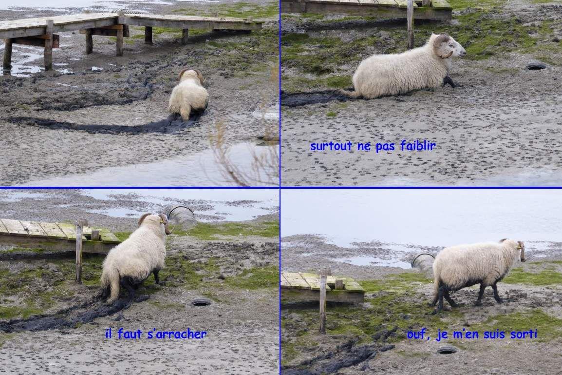 Escapade de 4 béliers dans le marais des grands loirs à Olonne sur mer