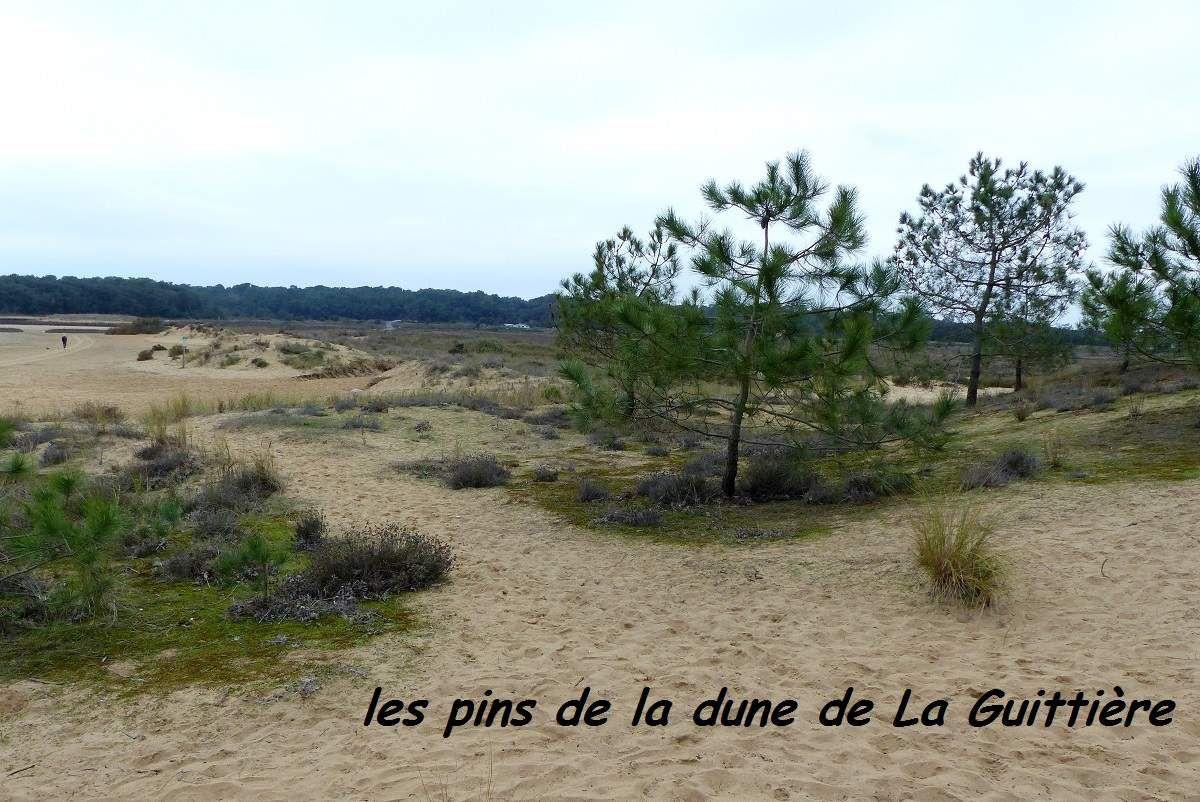Pins de la dune de la Guittière à Talmont