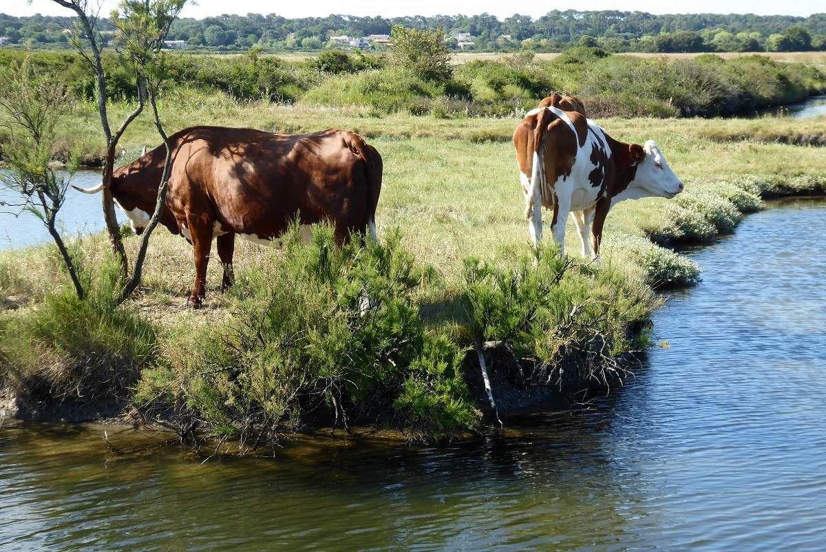 Vaches dans les marais de Jard Sur mer