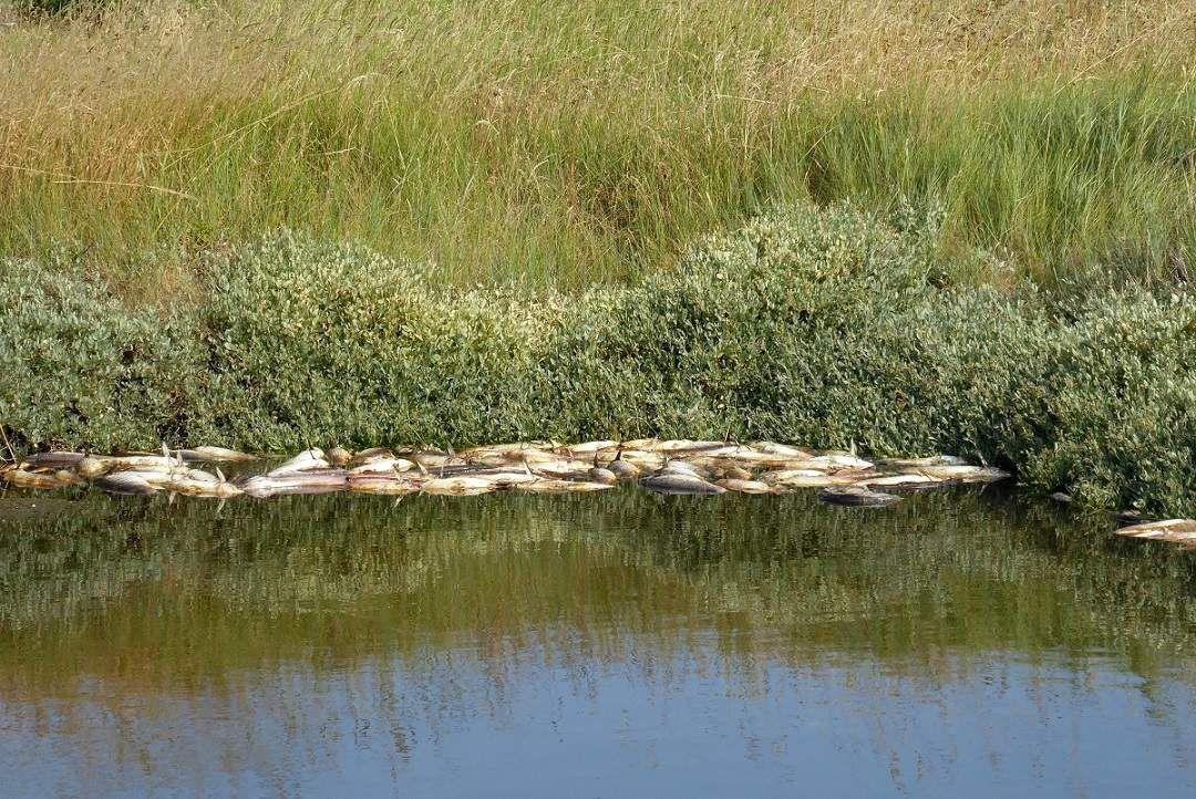 Effets de la canicule dans les marais de l'île d'Olonne