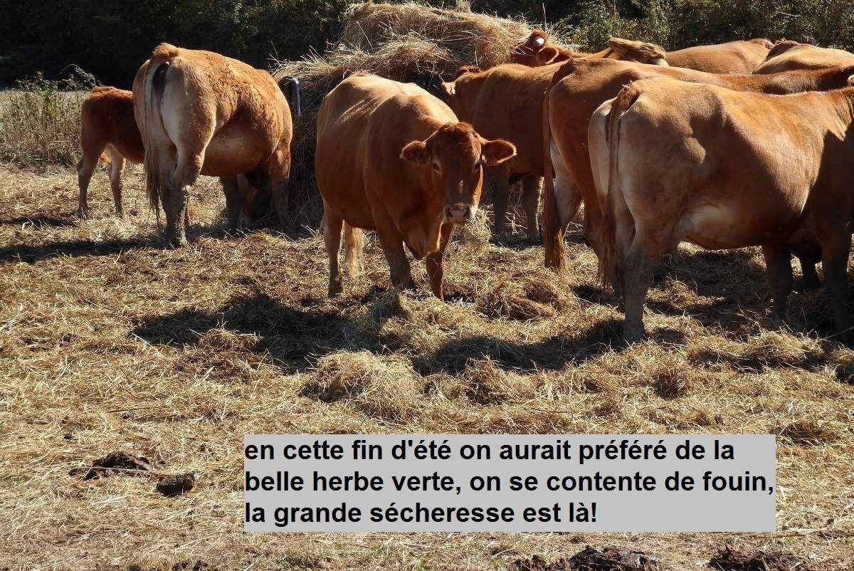 Vaches et sécheresse au pays des Olonnes