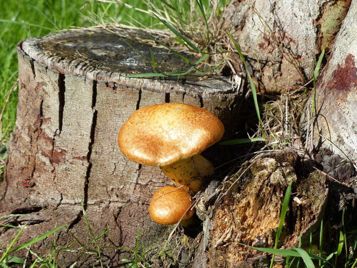 champignons dans un jardin sablais