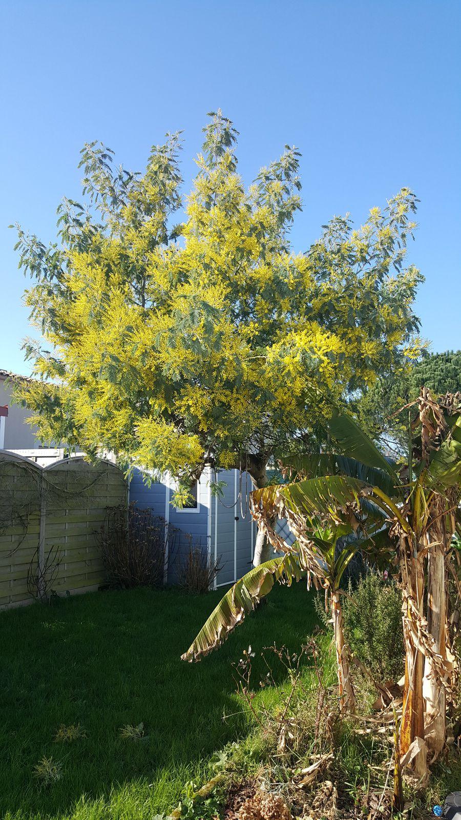 Le mimosa est fleuri aux Sables d'Olonne