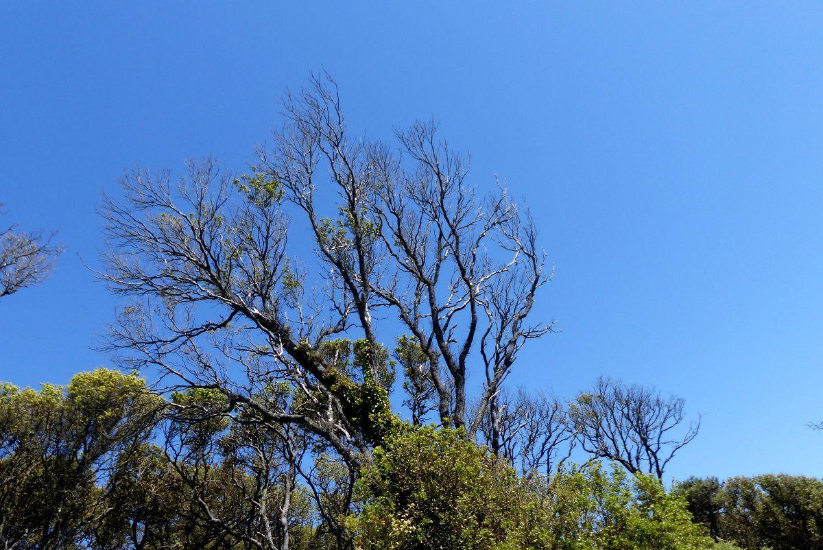 Chênes verts de la Pointe du Payré à Talmont Saint Hilaire