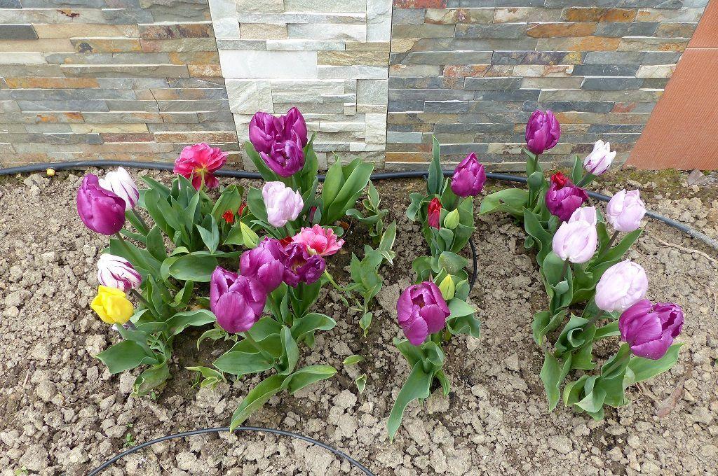 Fleurs d'un jardin sablais en mars