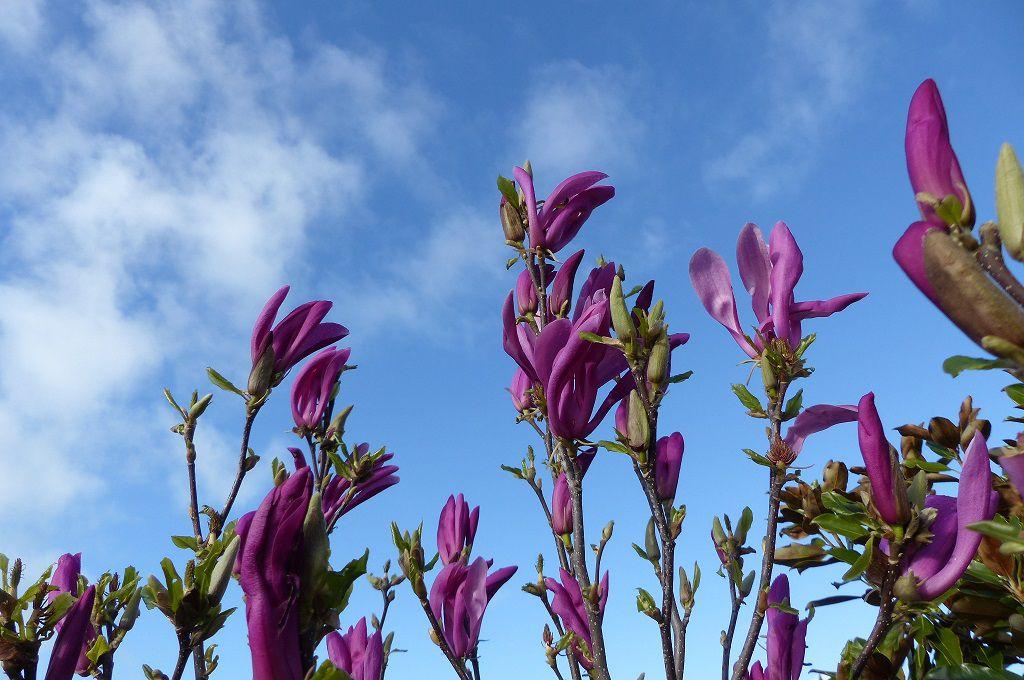 Magnolias dans un jardin sablais