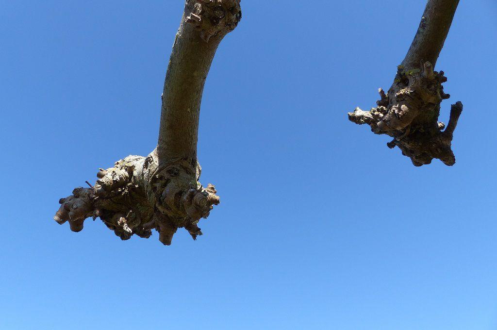 Le catalpa en début de printemps