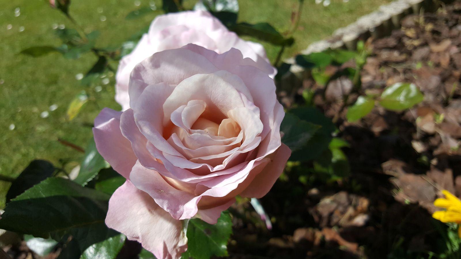 Les fleurs de mon jardin fin mai