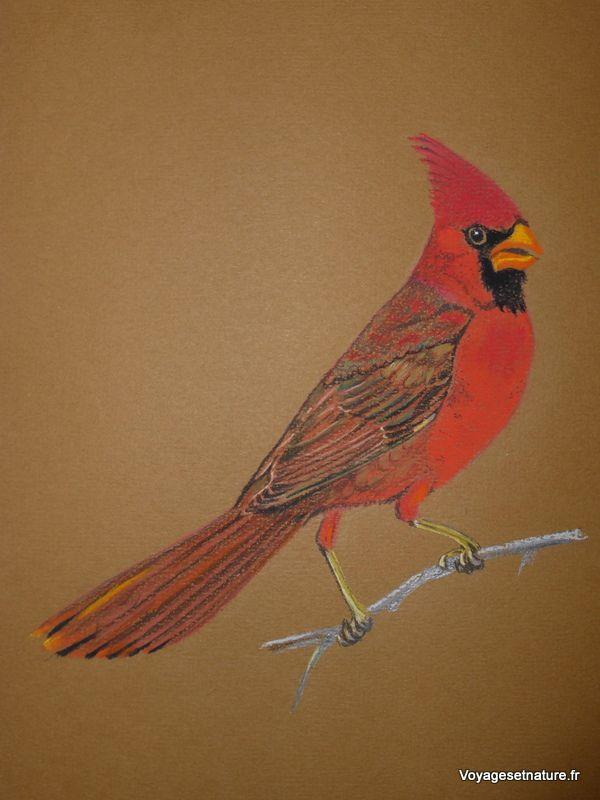 Cardinal de Virginie (sur Canson)
