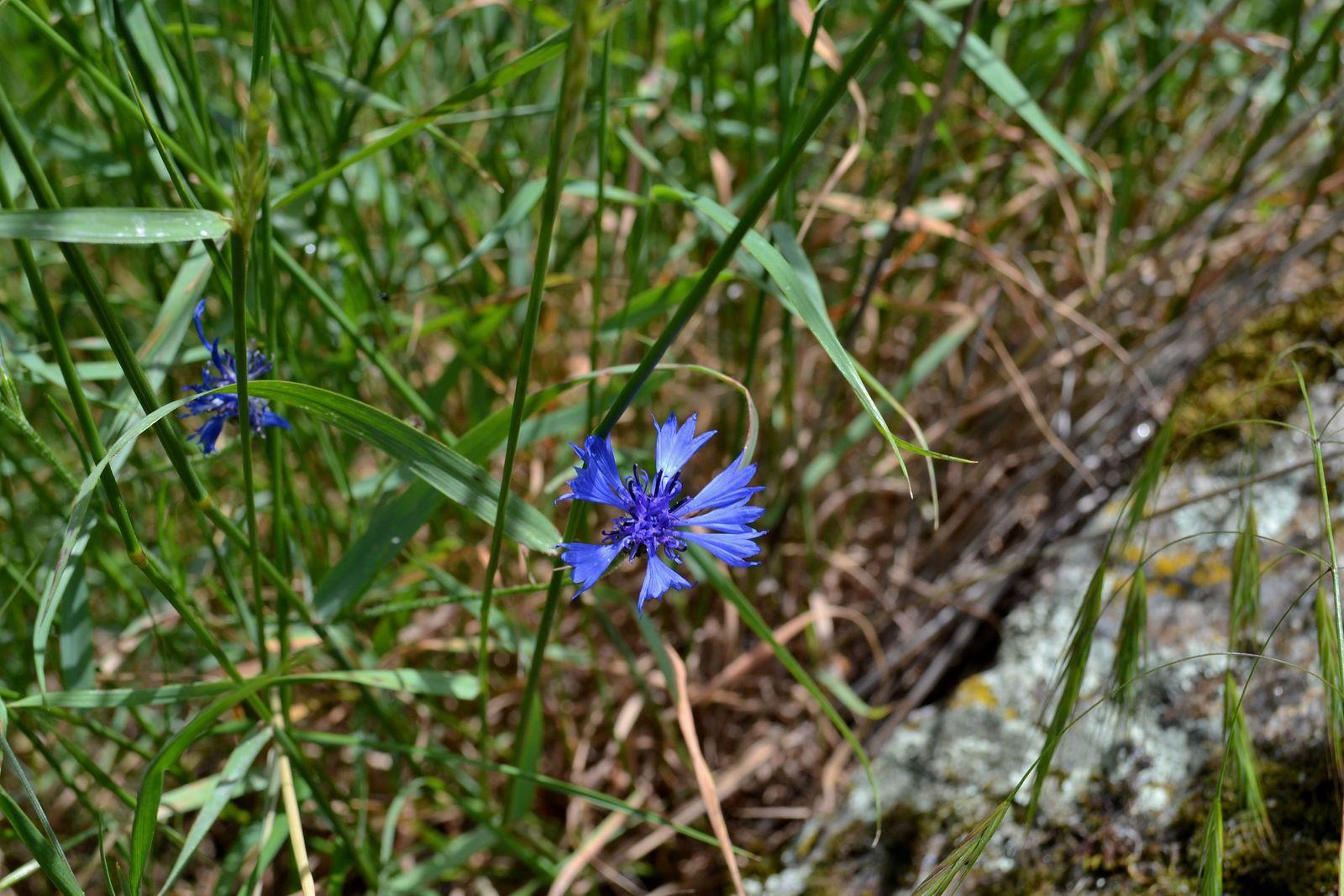 Sur la photo ci-dessus, une abeille en train de butiner une fleur de bleuet...