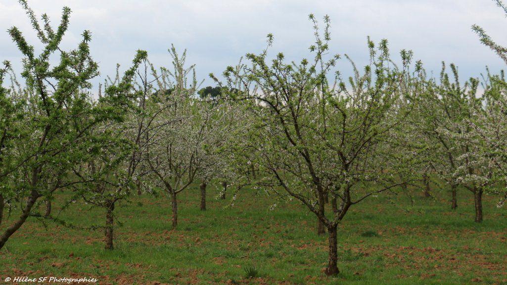Jouques, Bèdes: Balade en Provence au moments de la floraison des amandiers