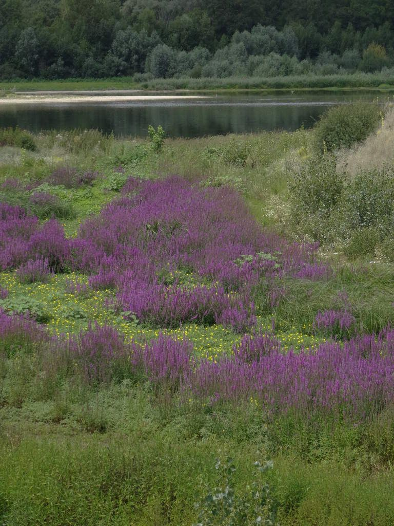 Des épilobes (Laurier de St Antoine/Osier fleuri) mettent une belle touche de couleur sur les berges de Loire