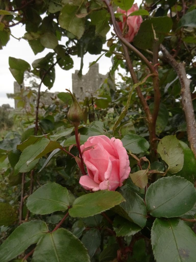 'Le Nom de la Rose', version irlandaise...