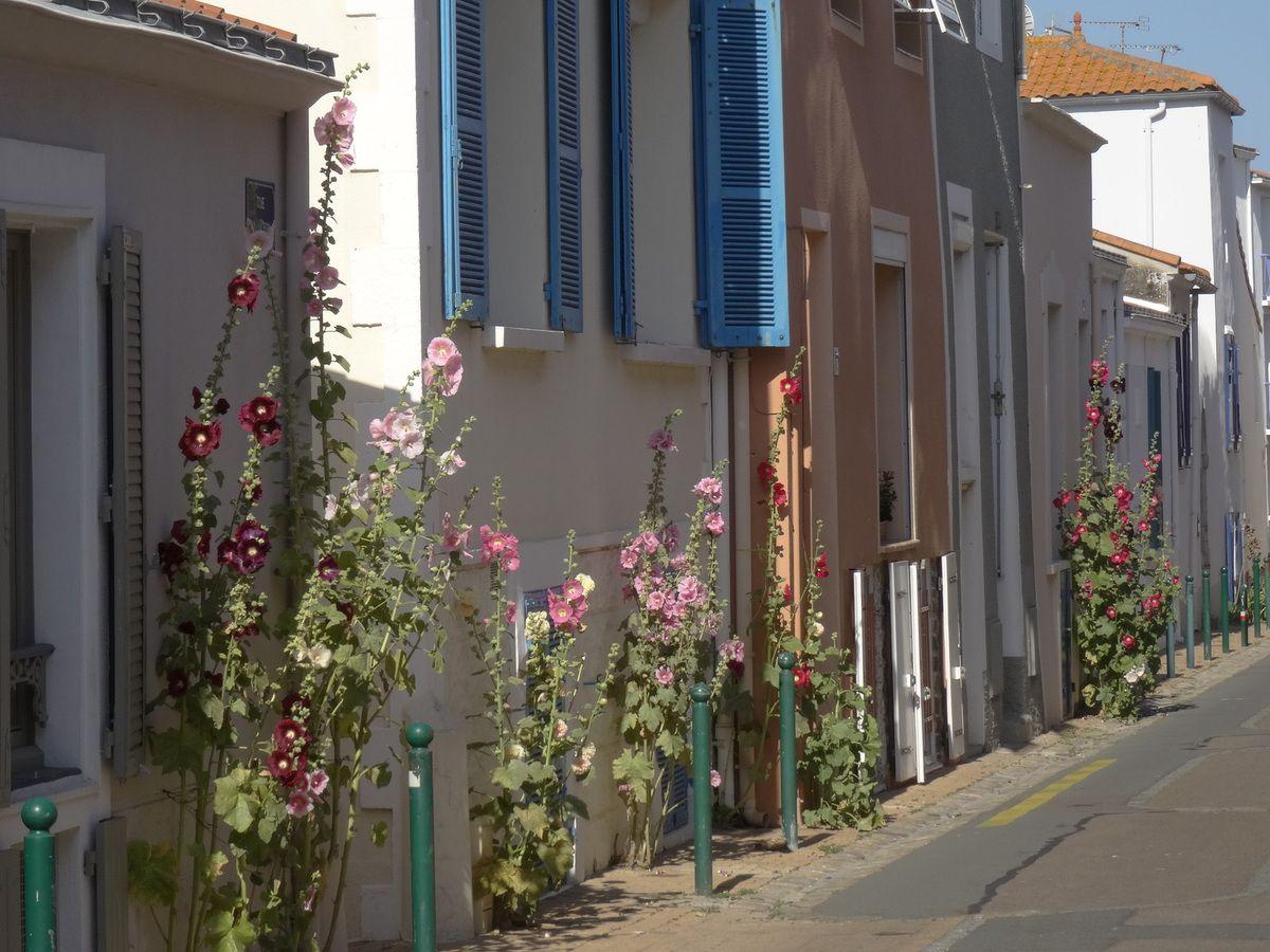 Une rue de roses trémières..