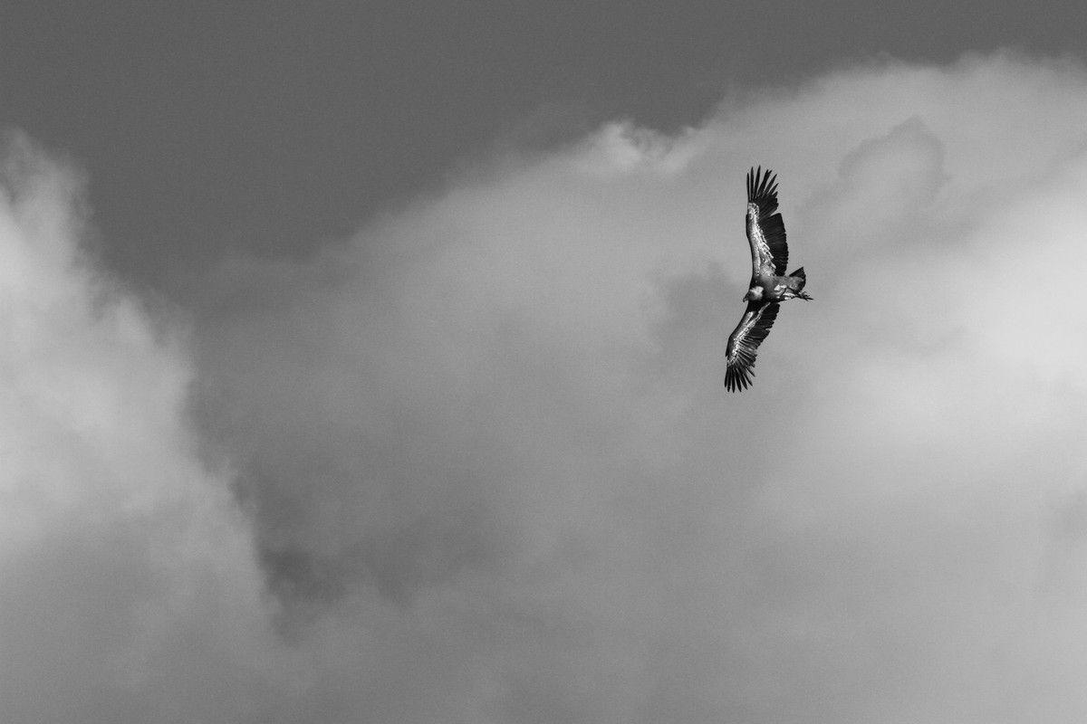 Vautours Fauves en noir et blanc