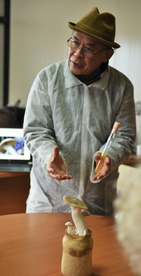 French based Chinese microbiologist Guanglai Zhang works with White Ferula Mushroom Pleurotus eryngii var nebrodensis.