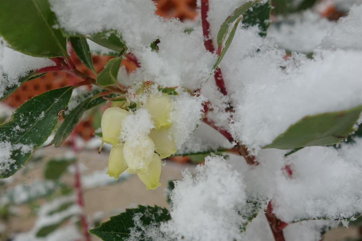 neige à Ensuès, sur l'arbousier en fleurs...