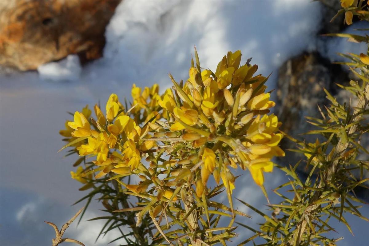 ... et le lendemain sur l'ajonc en fleurs  au col Sainte-Anne