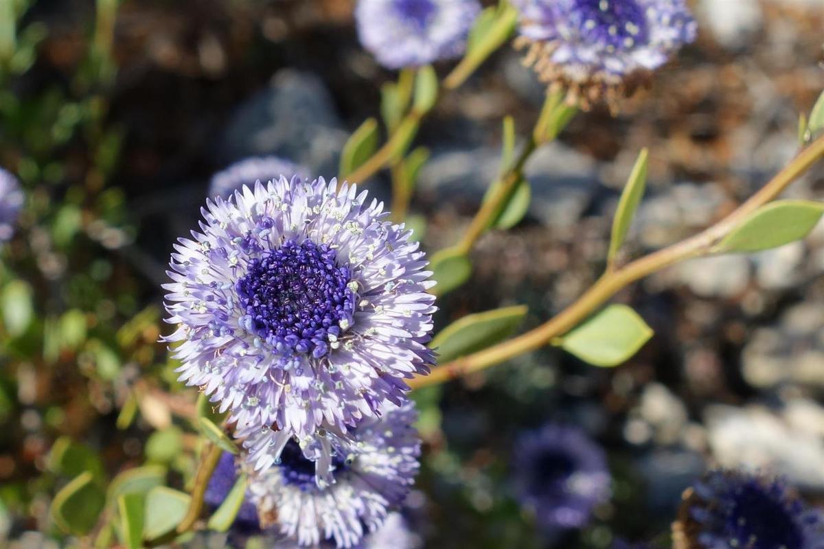 la flore du jour : arbousier, ajonc, globulaire, romarin