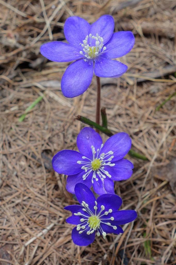 J2 : premières floraisons dans le mélézin