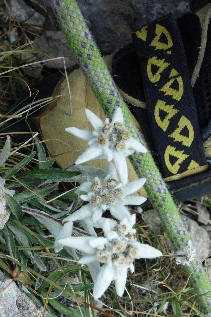 edelweiss sur la vire de transition en haut de L3