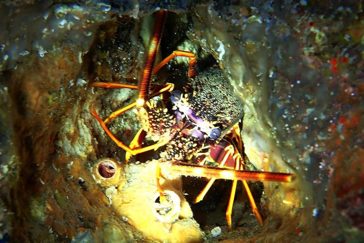 étoile de mer géante, bébé langouste et langouste adulte, pas simple à photographier en apnée à quelques mètres de fond, l'appareil photo dans une main et la lampe de plongée dans l'autre !