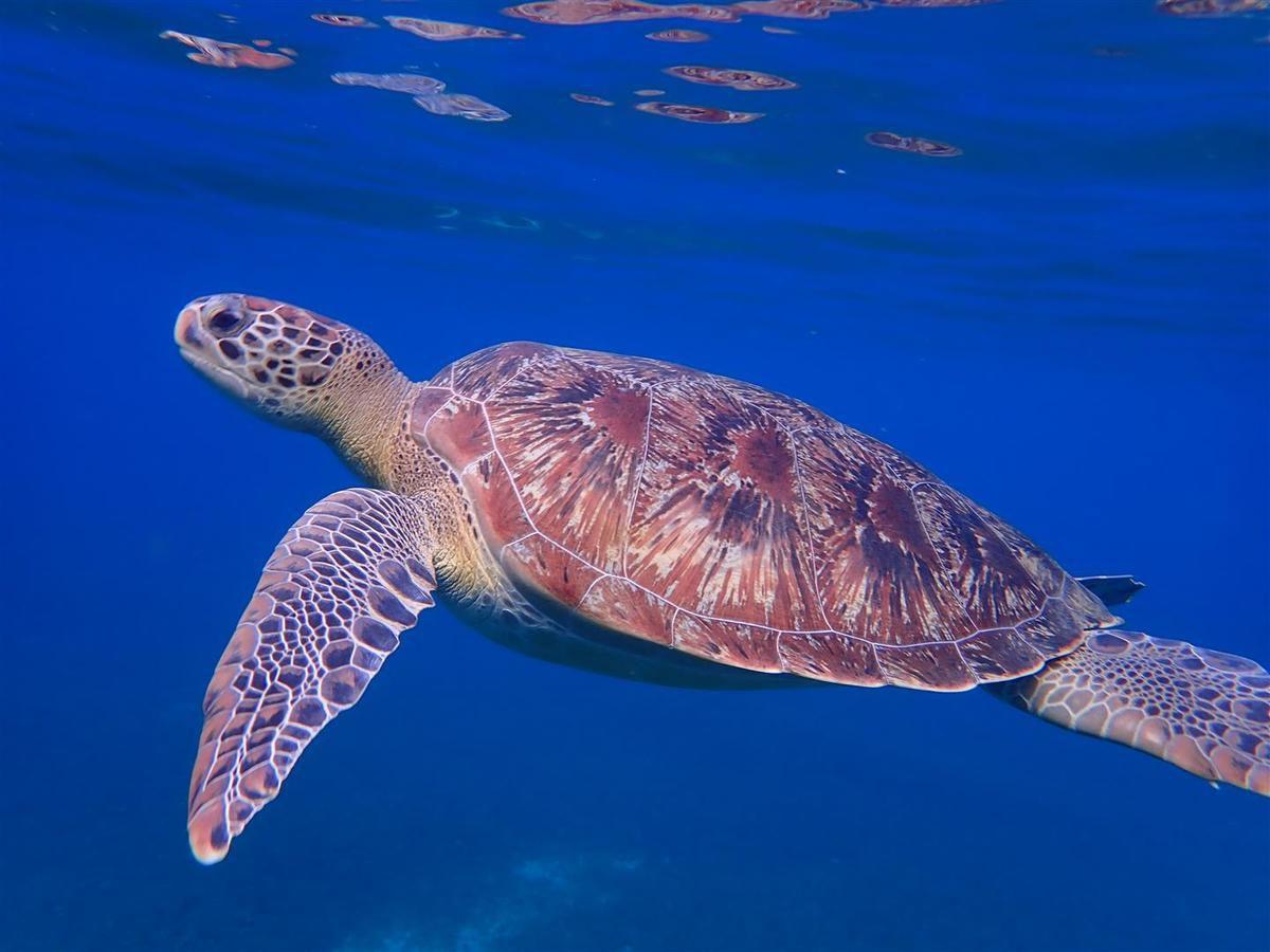 le 4 janvier : tortue verte dans l'herbier