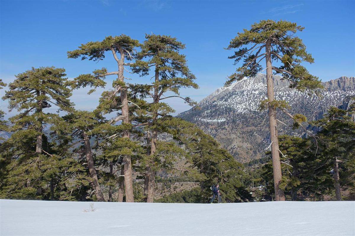 J3 : à la montée dans la pinède, des pins aux allures de laricios corses