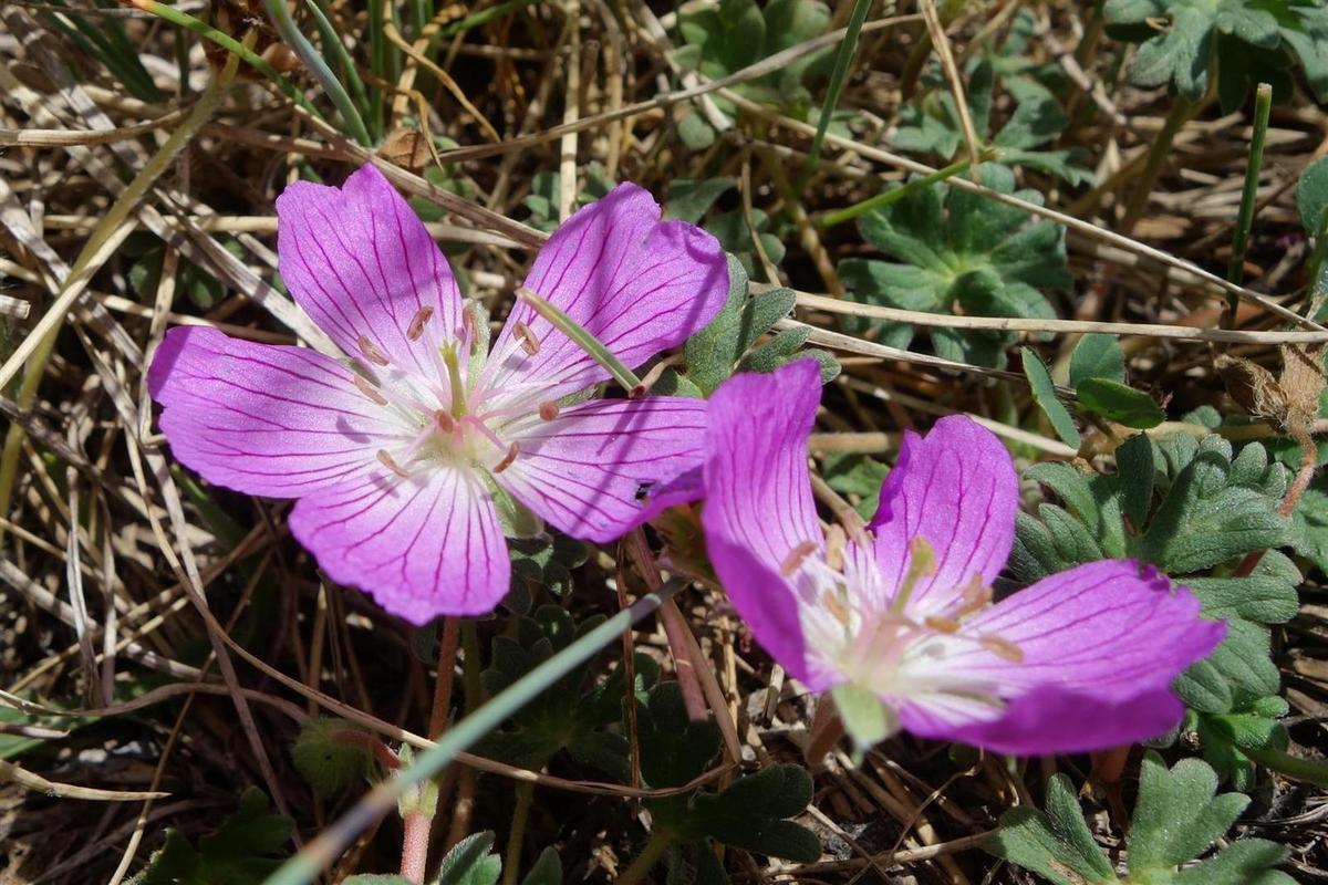 fleurs des Abruzzes