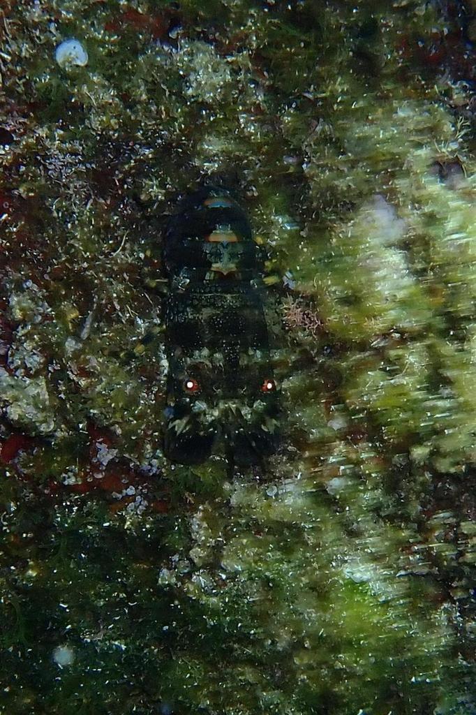 cigale de mer (pour mémoire...)