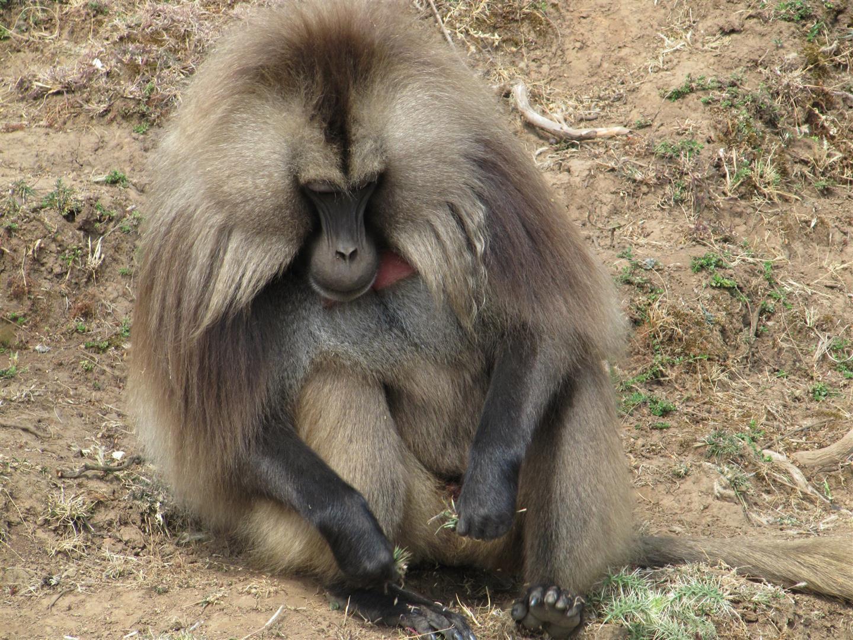 troupeau de singes Gelada (ou singes-lion en raison de la crinière des mâles), espèce endémique d'Ethiopie, un mâle prenant la pose, avecson poitrail rougesang caractéristique. Les singes Gelada sont herbivores, mais les mâles ont une belle dentition...