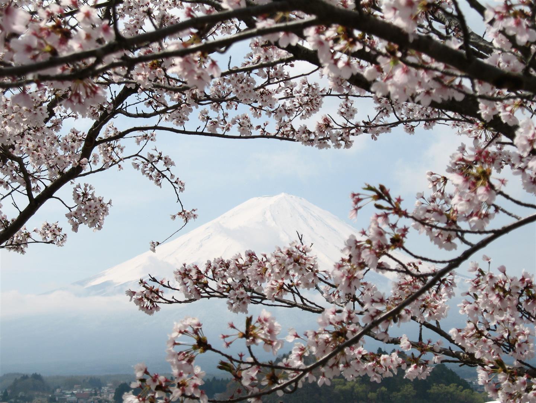 l'image d'Epinal du Japon avec le cône parfait derrière les cerisiers en fleurs, avril 2007